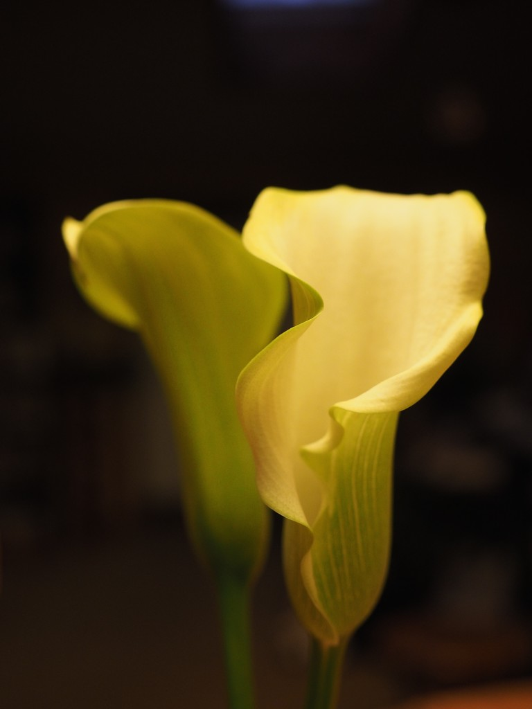 Calla Lilies by selkie