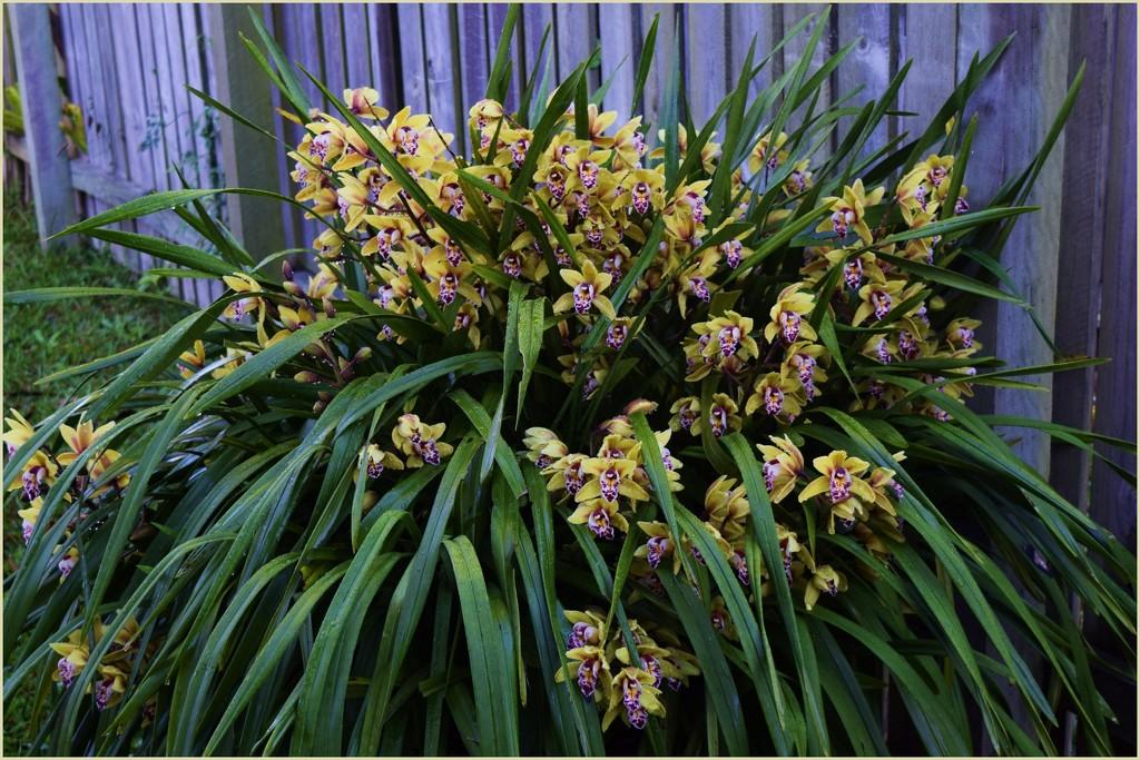 My Cymbidium Orchid...1... by happysnaps