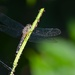 Dragonfly by congaree