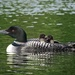 Momma Loon and Chicks by rob257