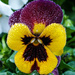 Frosted Viola by salza