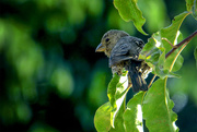"18th Jun 2015 - ""A Finch"" in a pinch..."
