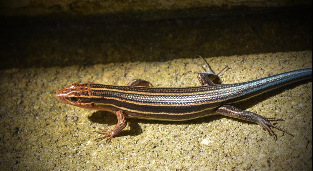 Skank Lizard, I think. by rickster549