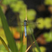 Blue dragonfly by nanderson