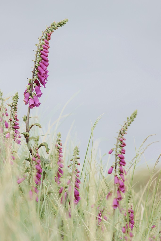 Friday Foxgloves by motherjane