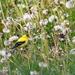 goldfinch feeding on dandelion seeds by mjalkotzy