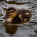 One Duckling by joansmor