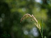 20th Jun 2015 - Grass Head And Bokeh