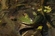 20th Jun 2015 - Bullfrog
