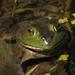 Bullfrog by dianen