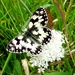 Marbled White Butterfly by julienne1