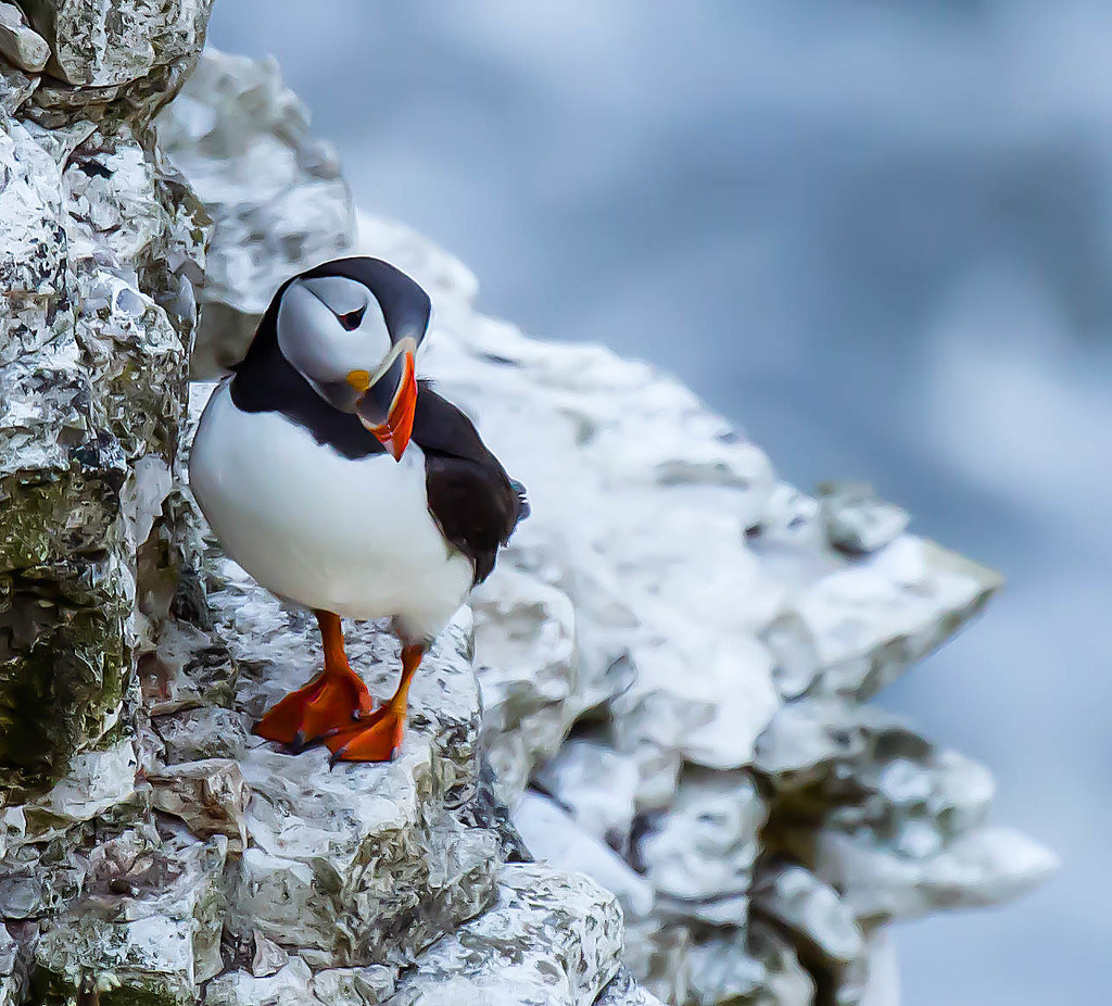 19th June 2015    - Oh no another puffin!! by pamknowler