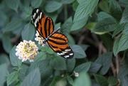 22nd Jun 2015 - Butterfly