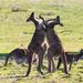 Boxing kangaroos by flyrobin
