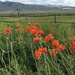 Montana Poppies by jetr
