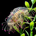 2015 06 22 -  Flower hat jellyfish by pixiemac