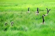 23rd Jun 2015 - Geese