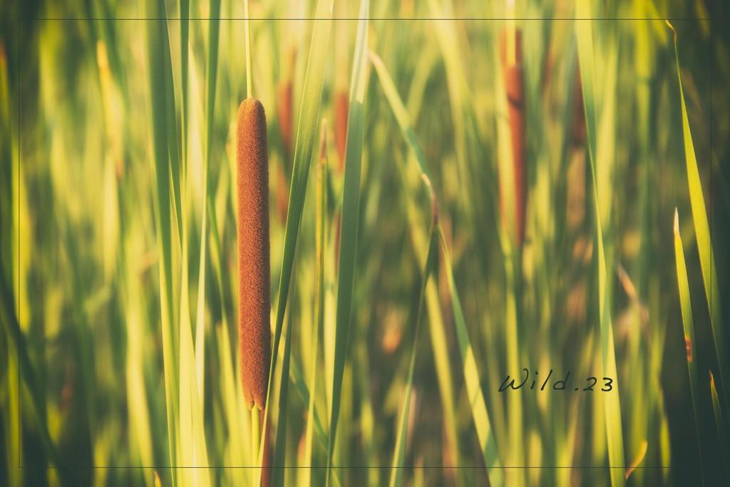 Corn Dog Grass by lyndemc