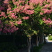 The incredible beauty of crepe myrtle in full bloom all around Charleston, SC.  They will last all summer. by congaree