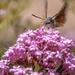 Hummingbird Hawk Moth 2 by shepherdmanswife