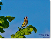 24th Jun 2015 - Goldfinch