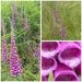 Foxgloves by susiemc