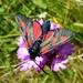 Five-spot Burnet Moth (Zygaena trifolii) by julienne1