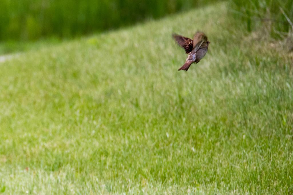 Sparrow in Flight by rminer