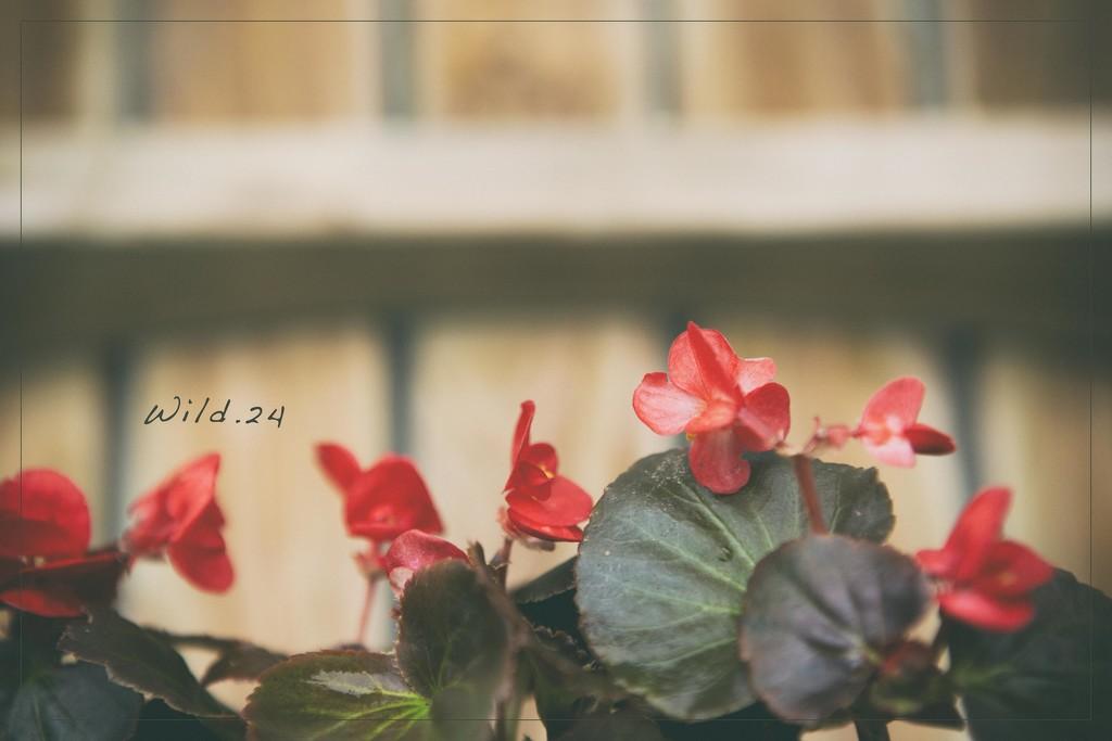 Window Box Beauties by lyndemc
