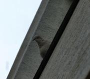 17th Jun 2015 - Curious dove