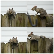 25th Jun 2015 - Squirrel Collage