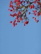12th Nov 2010 - Bright Berries