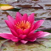 Water Lily by susiemc
