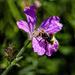 Bee On Wild Geranium by jgpittenger