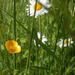 Buttercups and daisy's....  by snowy