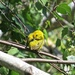 Yellow Warbler at Viles Arboretum