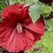 One Huge Hibiscus by milaniet