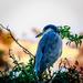 Night Heron by elatedpixie