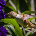 Hummingbird Exstacy