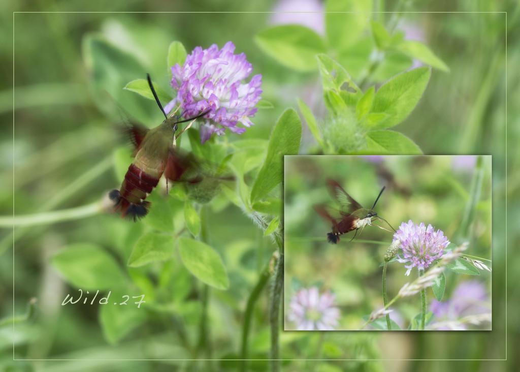 A Hummingbird Moth by lyndemc