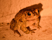 28th Jun 2015 - Night Frog