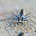 Tiger Beetle by sarahlh