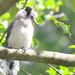 Baby Blue Jay by mhei