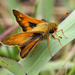 Woodland Skipper Butterfly by cjwhite