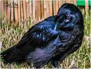 30th Jun 2015 - Raven