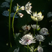 Astrantia flowers in the sunlight.... by snowy