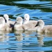 Certainly not ugly ducklings by ditzy