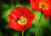 30th Jun 2015 - Bumble Bee