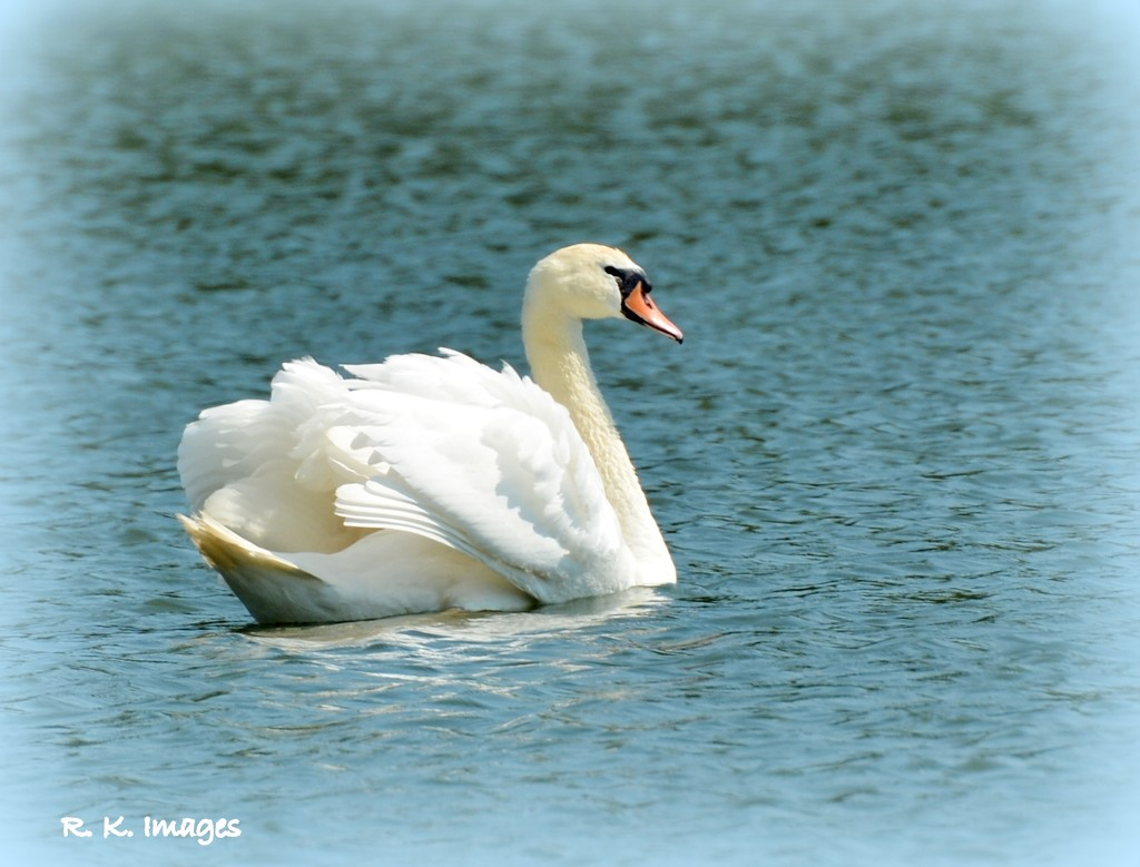 Beautiful swan by rosiekind