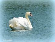 1st Jul 2015 - Beautiful swan